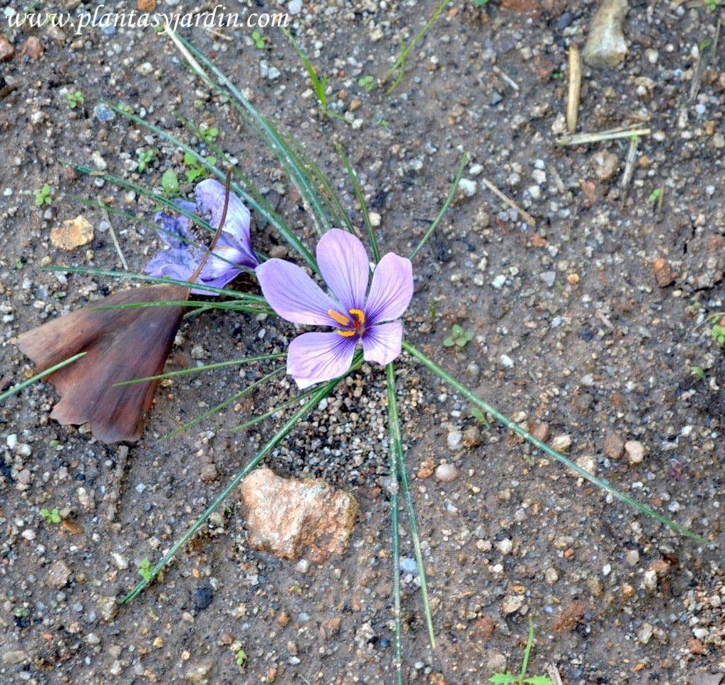 Crocus sativus Safra la flor del azafran