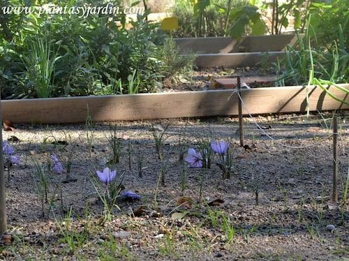 Crocus sativus la flor de donde se obtiene el azafran