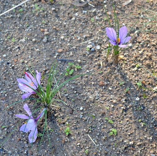 Crocus sativus los estambres rojos son el azafran
