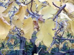 Ficus carica-Higuera, detalle de follaje en otoño.