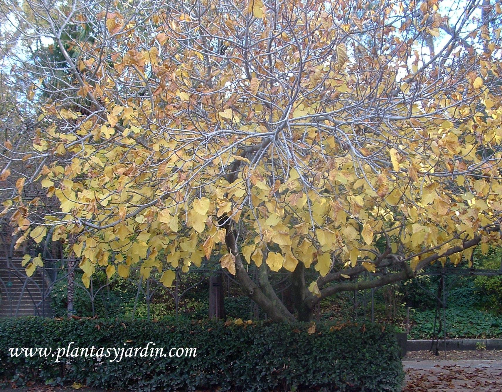 Ficus carica-Higuera, en otoño.