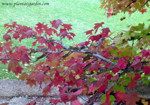 Liquidambar detalle del follaje en otoño