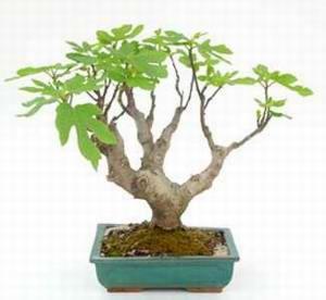 bonsái de Ficus carica. Foto: www.hellopro.es