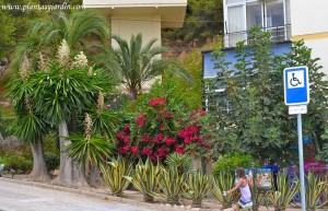 plantas en la 1º línea del mar, Higuera, Agave, Santa rita, Yuca y Phoenix.