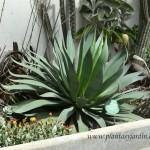 """Agave attenuata """"Serrulata"""", nativa de México."""