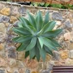 Agave attenuata como ornamentación vegetal en un muro.