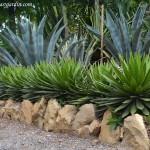 Agave xylonacantha, nativa de México.