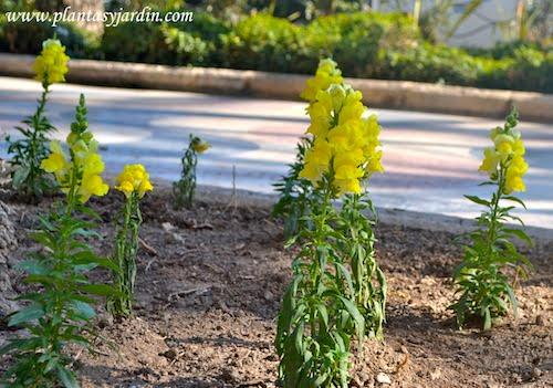 Antirrhinum majus de color amarillo.
