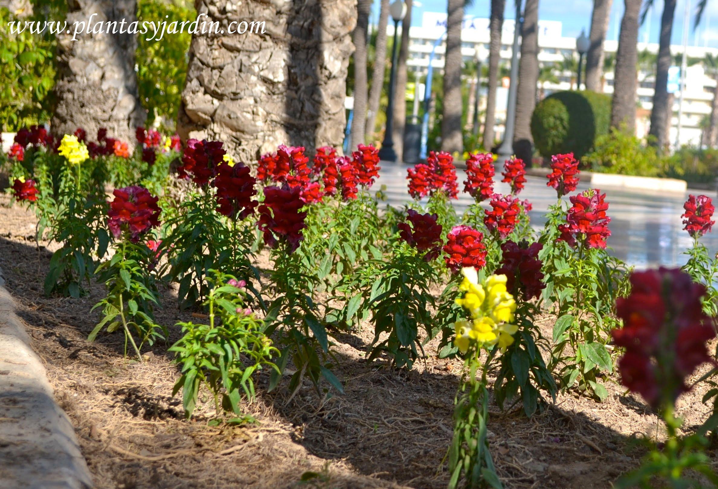 Antirrhinum majus rojos y amarillos