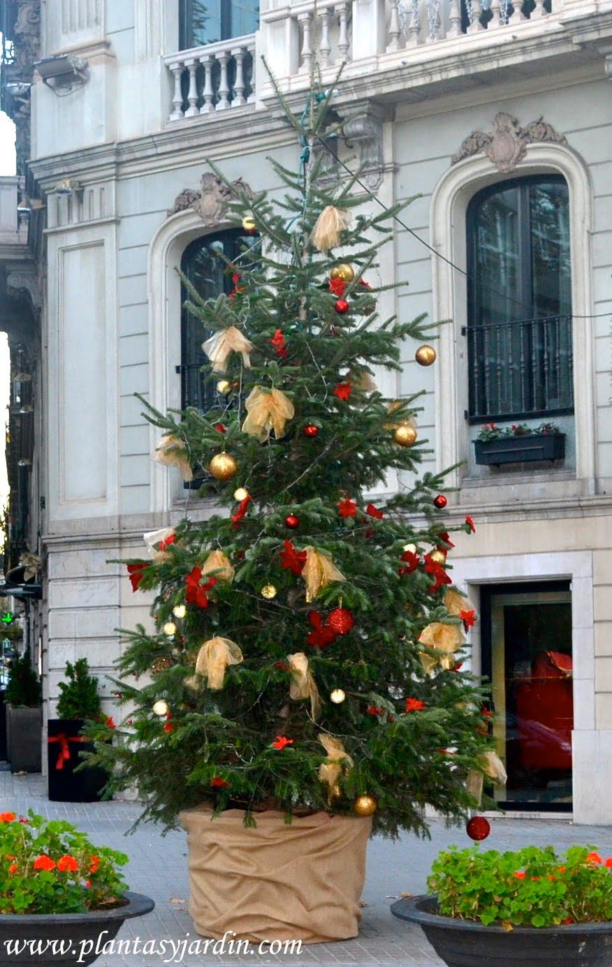 Abeto, el árbol clásico de navidad