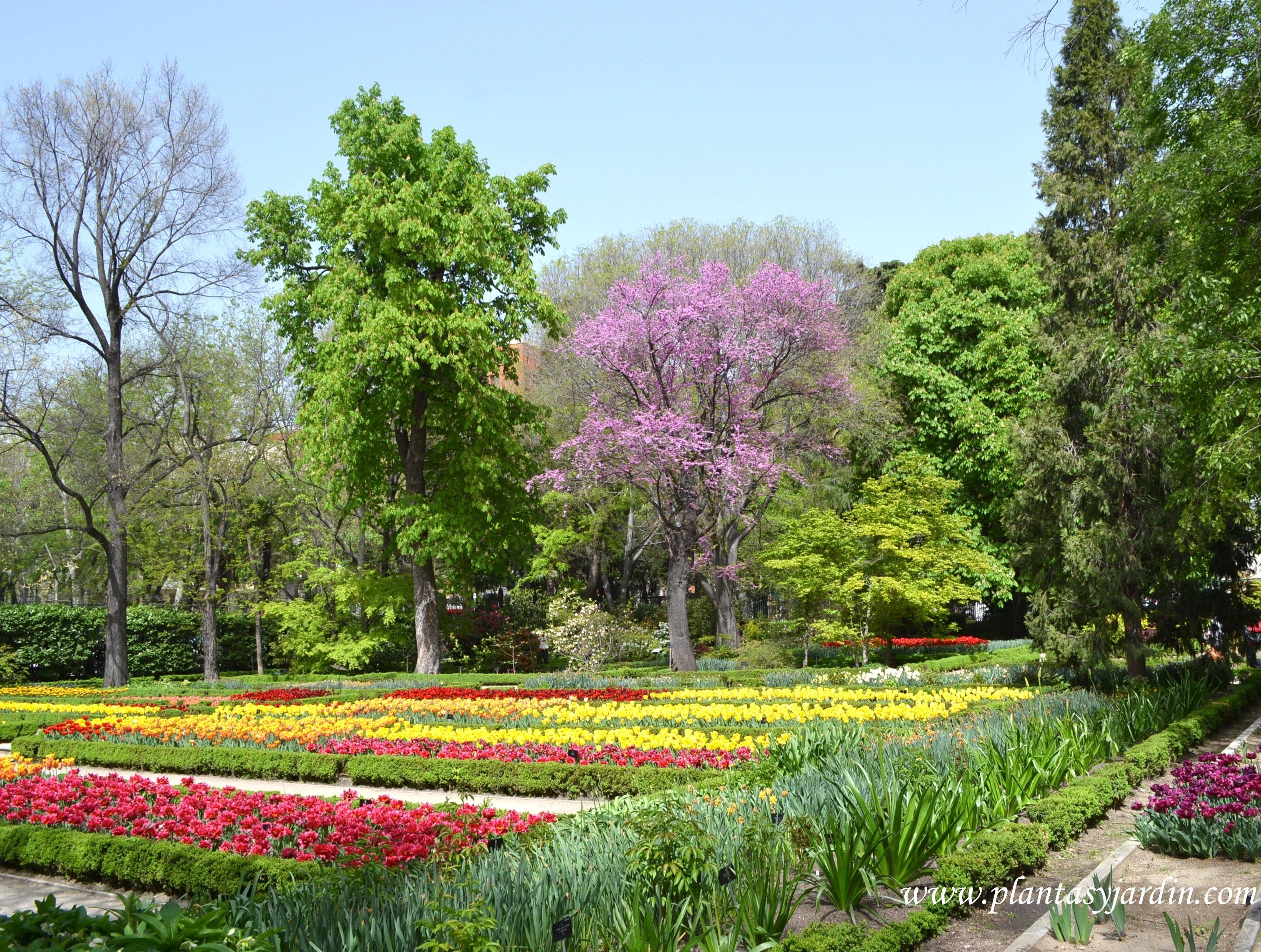 Cercis siliquastrum florecido en primavera & parterres de Tulipanes.