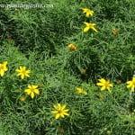 Coreopsis en verano.