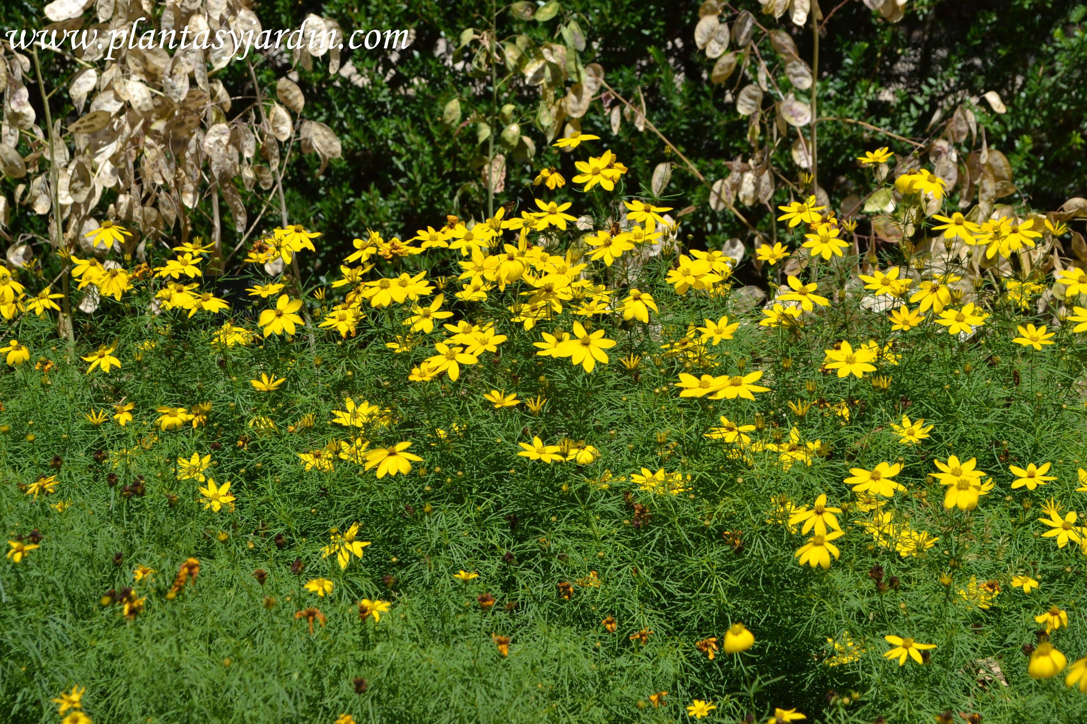 Coreopsis verticillata, florecida la primer semana del verano.