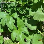 """Cucurbita pepo-Calabaza """"Aladín"""" detalle de hojas."""