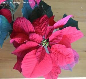 Euphorbia pulcherrima Estrella federal detalle bracteas rojas