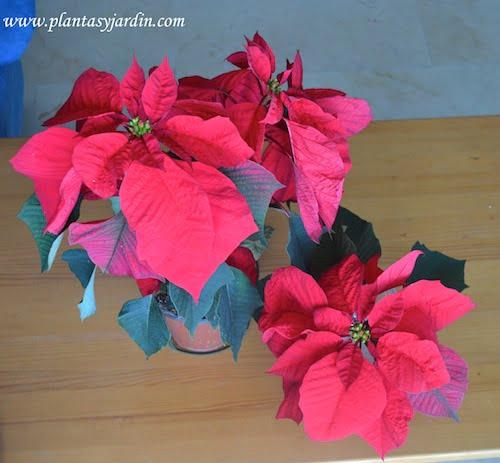 Euphorbia pulcherrima Flor de Pascua