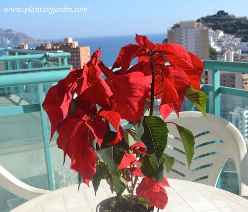 Euphorbia pulcherrima Poinsetia