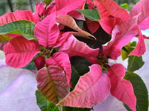 Euphorbia pulcherrima Prince Poinsetia de color rosa