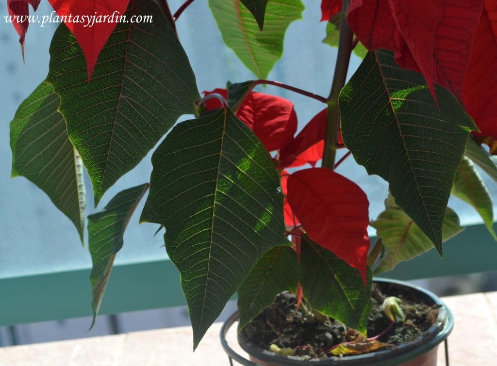 Euphorbia pulcherrima  detalle follaje