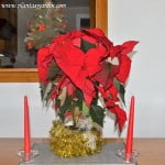 Euphorbia pulcherrima en decoración navideña