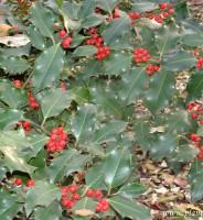 El Ilex, protagonista de la decoración en Navidad