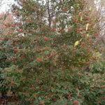 Ilex aquifolium Acebo en invierno con frutos rojos