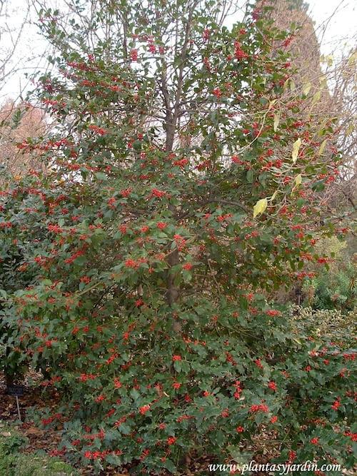 Ilex aquifolium, Acebo en invierno con frutos rojos