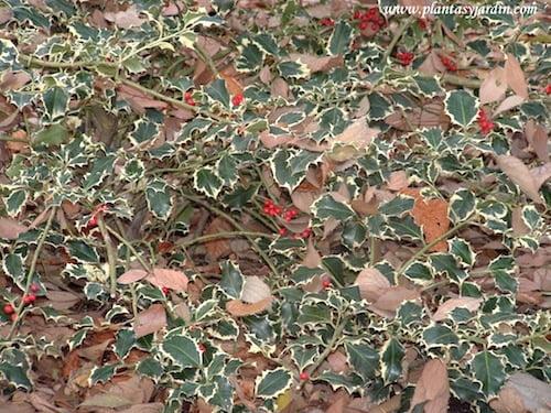 Ilex aquifolium Aurea Marginata con frutos rojos en invierno