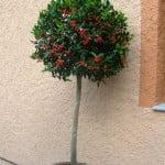 Ilex aquifolium Muerdago en arbolito topiario