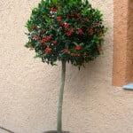 Ilex aquifolium, Muerdago en arbolito topiario
