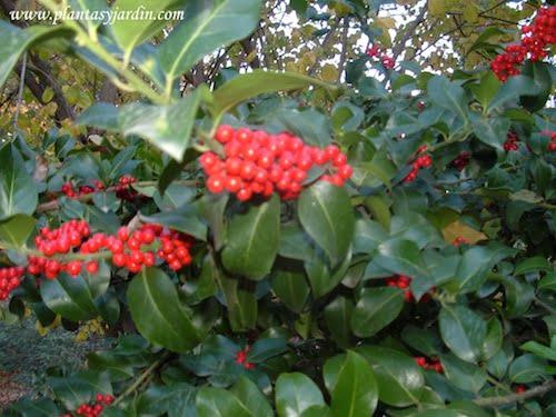 Ilex aquifolium con bayas en otono