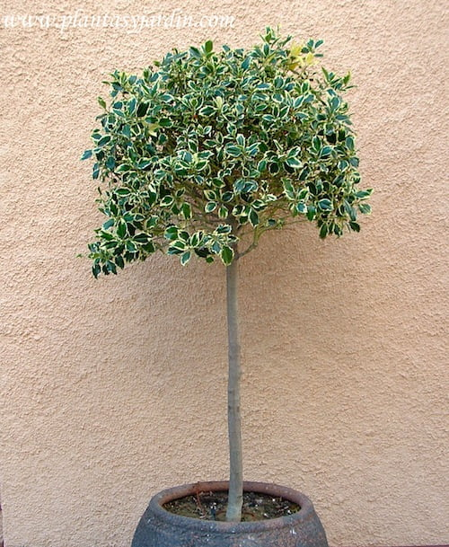 Ilex aquifolium variegado en arbolito topiario