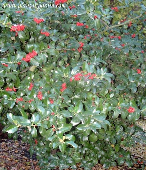 Ilex x Altaclarensis Cameliofolia
