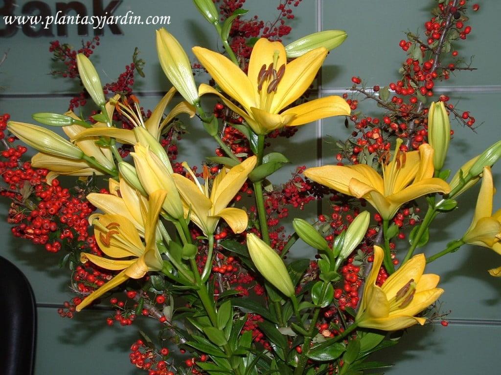 Liliums amarillos con Cotoneaster.