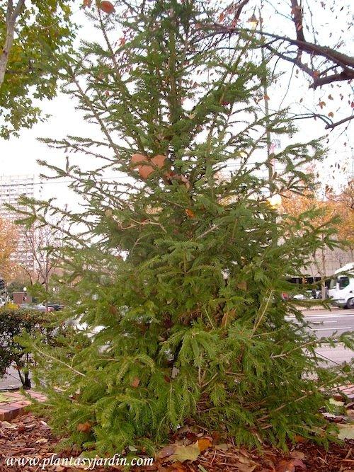 Picea abies, el Abeto rojo