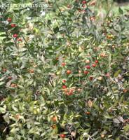 Ruscus aculeatus-Rusco-Brusco