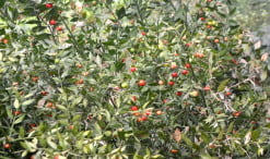 Rusco acuelatus los frutos tóxicos para los humanos pero no para los pájaros