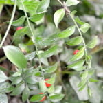 Ruscus acuelatus el fruto comestible para pájaros