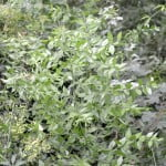 Ruscus aculeatus Brusco o Rusco comun