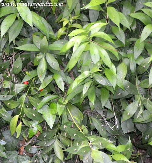 Ruscus hypoglossum Brusco de hojas anchas