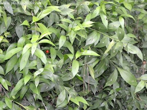 Ruscus hypoglossum pseudo hoja filocladio