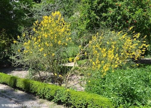 Spartium junceum-Legumináceas.