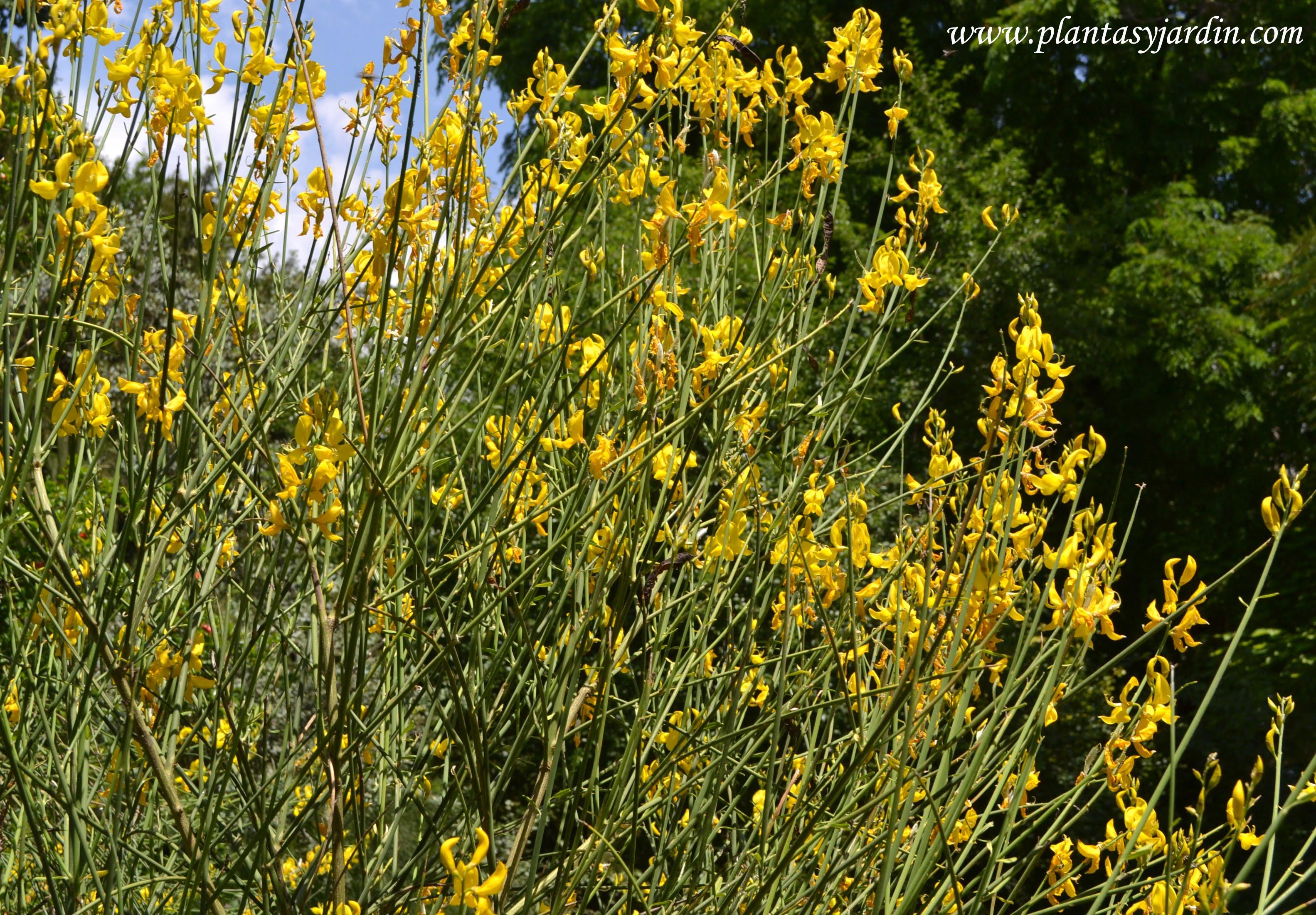 Spartium junceum, florecido en primavera.