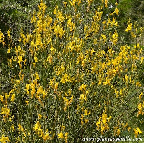 Spartium junceum nativo de la región mediterránea.
