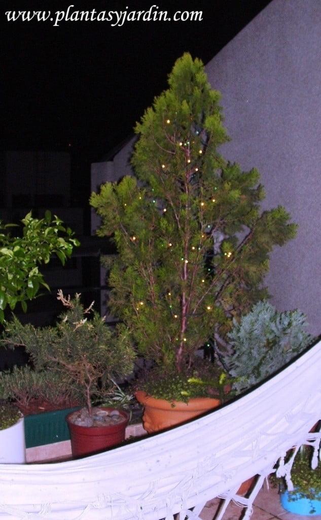 Thuya en maceta con luces navideñas
