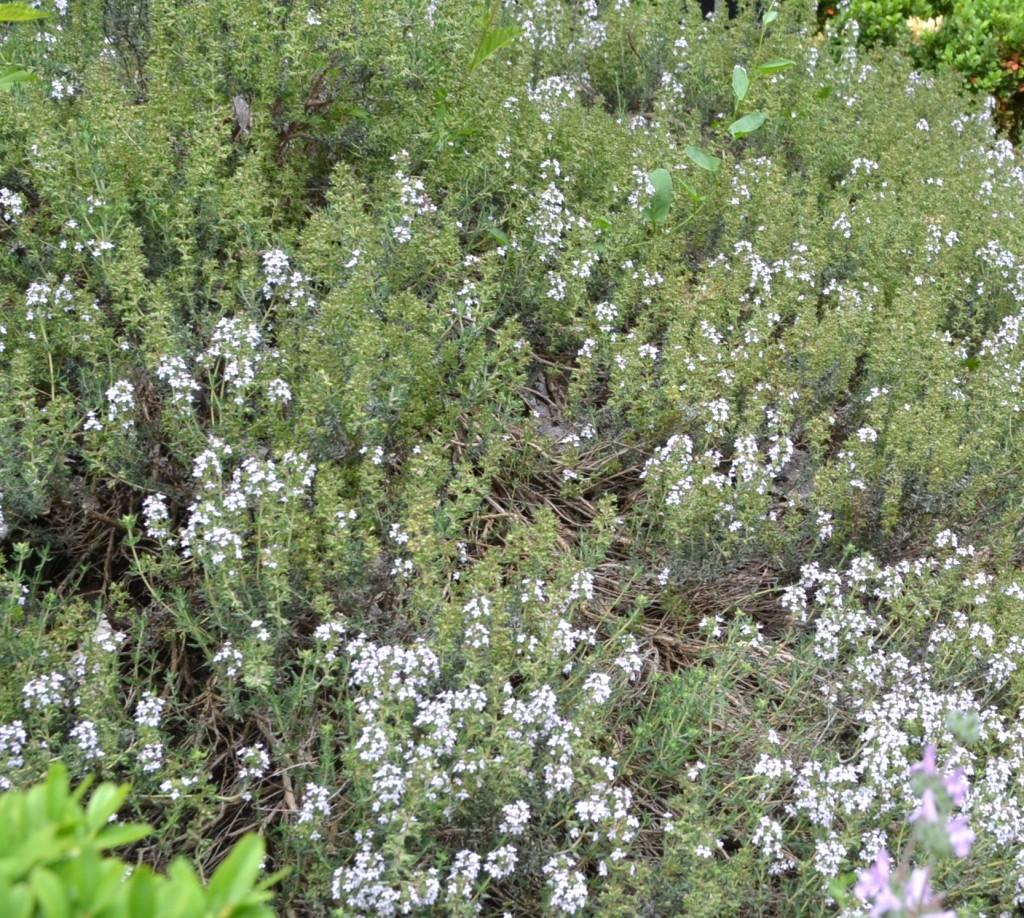 Thymus vulgaris-Tomillo.