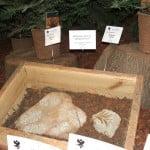 restos fósiles de Wollemia nobilis. Foto: Wikipedia.