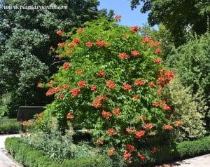 Campsis x tagliabuana grandiflora radicans