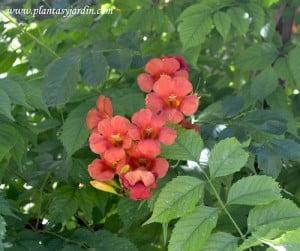 Campsis x tagliabuana hojas y flores