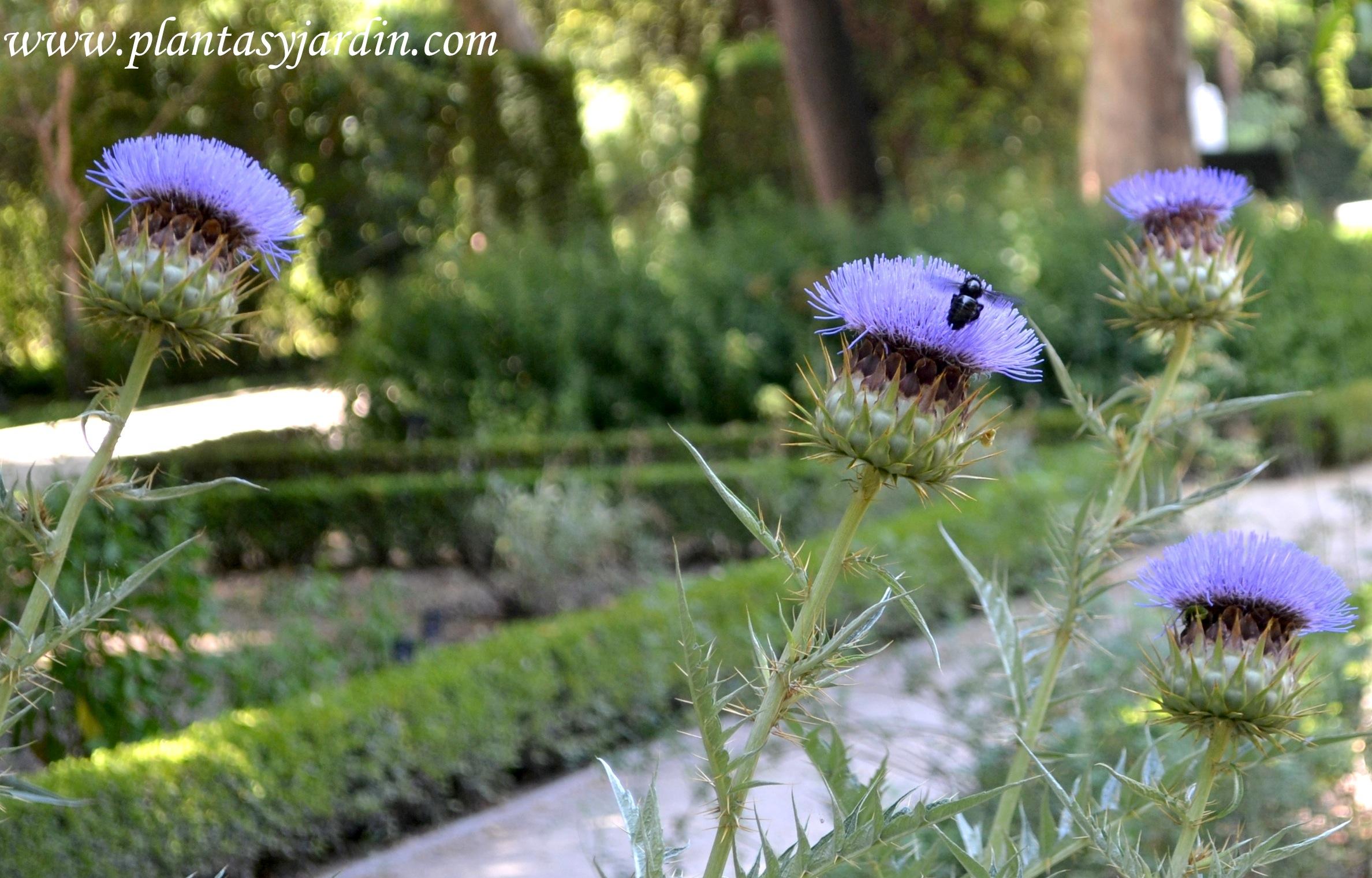 Cynara cardunculus-Cardo de la huerta, nativo de la región Mediterránea.